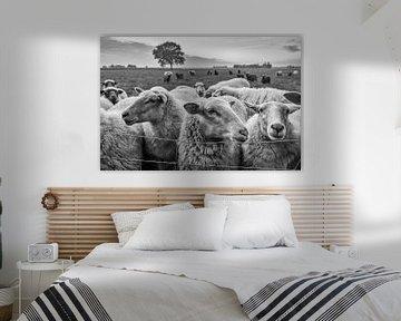 schapen in de wei van jan van de ven