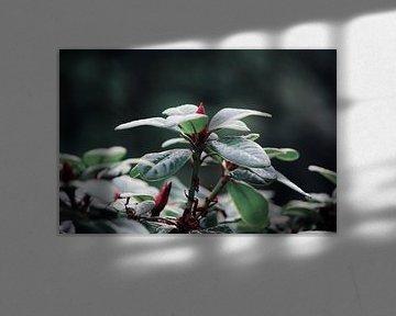 Opkomende rode bloem von Ilse Rood