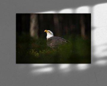 Bald Eagle ( Haliaeetus leucocephalus ) sitting in a spotlight van wunderbare Erde