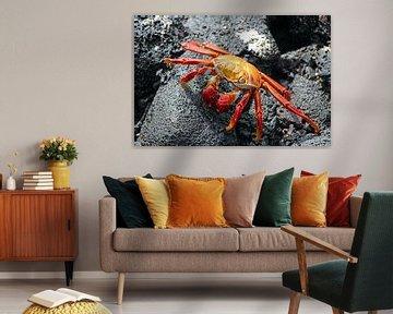 rode krab Galapagos van Marieke Funke