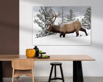 Elk ( Cervus canadensis ), bull in winter, van wunderbare Erde
