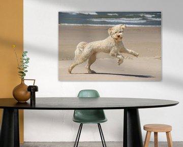 Labradoodle-Hund beim Spielen und Laufen am Strand von Peter Buijsman
