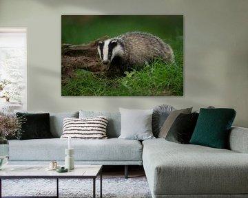 European Badger * Meles meles *, young animal van wunderbare Erde