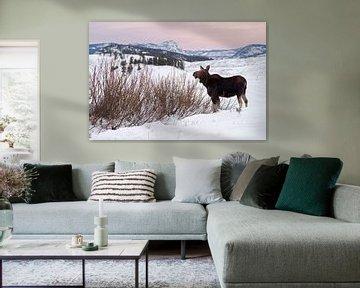 Moose ( Alces alces ) in winter, feeding on bushes van wunderbare Erde