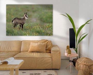Gaemse ( Rupicapra rupicapra ), Gamskitz auf einer Blumenwiese von wunderbare Erde