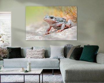 Common Midwife Toad ( Alytes obstetricans ) van wunderbare Erde