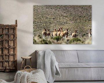 Vicunas auf dem bolivianischen Plateau