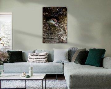 Grünspecht ( Picus viridis ), Jungvogel schaut aus der Nisthöhle von wunderbare Erde