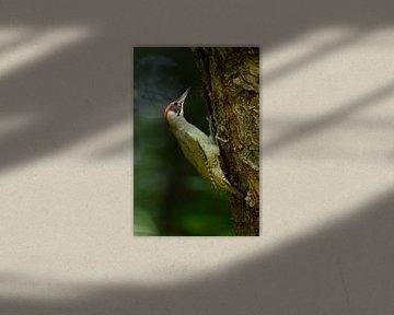 Grünspecht ( Picus viridis ) im dunklen Wald von wunderbare Erde