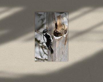 Haarspecht ( Picoides villosus ), nordamerikanische Spechtart im Winter von wunderbare Erde