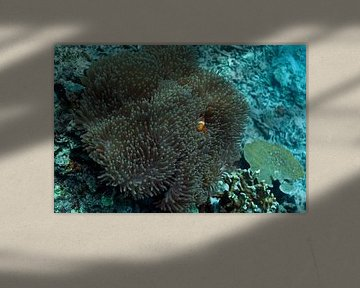 Clownfish van Luc Buthker