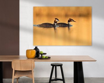 Haubentaucher ( Podiceps cristatus ), Paar im goldenen Abendlicht von wunderbare Erde
