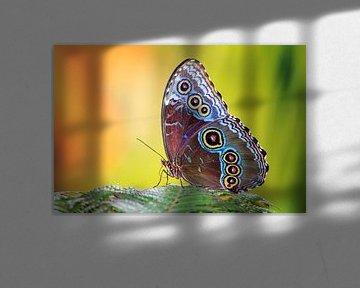 Blauwe Morpho vlinder von Dennis van de Water