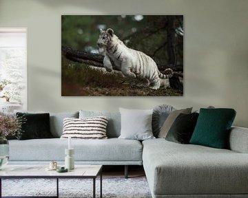 Koenigstiger ( Panthera tigris ) springt durch das Unterholz eines Waldes von wunderbare Erde