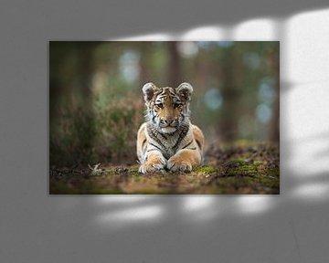 Koenigstiger ( Panthera tigris ) ruht am Boden von wunderbare Erde