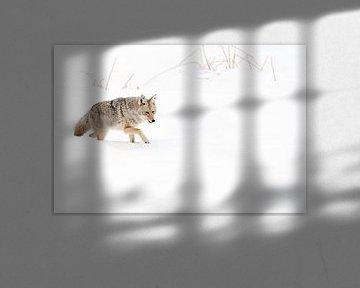 Kojote ( Canis latrans ) im Winter, kämpft sich durch den Tiefschnee von wunderbare Erde
