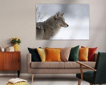 Kojote ( Canis latrans ) im Winter, bei leichtem Schneefall, Nahaufnahme von wunderbare Erde