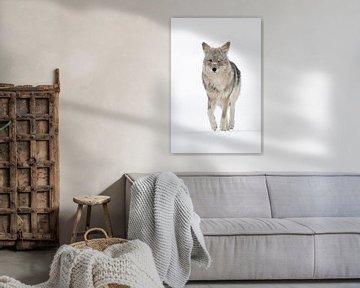 Kojote ( Canis latrans ) im Winter, frontale Ansicht von wunderbare Erde