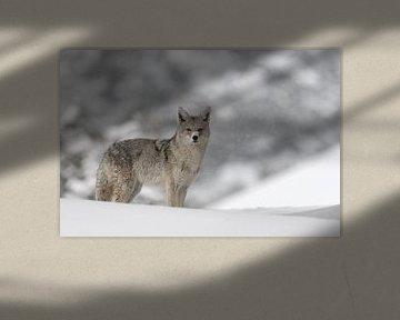 Kojote ( Canis latrans ) im Winter, bei leichtem Schneefall von wunderbare Erde