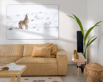 Heulender Kojote ( Canis latrans ) im Winter, bei leichtem Schneefall von wunderbare Erde