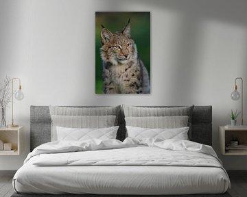 Eurasischer Luchs ( Lynx lynx ) im schönsten Licht von wunderbare Erde
