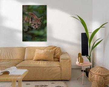Eurasischer Luchs ( Lynx lynx ), verspieltes Jungtier von wunderbare Erde