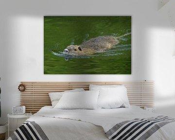 Nutria ( Myocastor coypus ) schwimmt eilig von wunderbare Erde