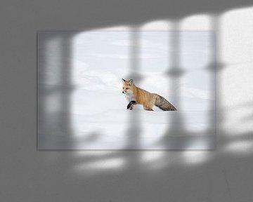Rotfuchs ( Vulpes vulpes ) kämpft sich durch hohen Schnee von wunderbare Erde