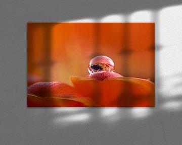 Gerbera met druppel 3 mm