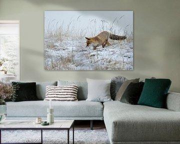 Rotfuchs ( Vulpes vulpes ) bei der Mäusejagd im Schnee von wunderbare Erde