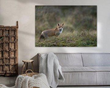 Rotfuchs ( Vulpes vulpes ) im Winterfell von wunderbare Erde