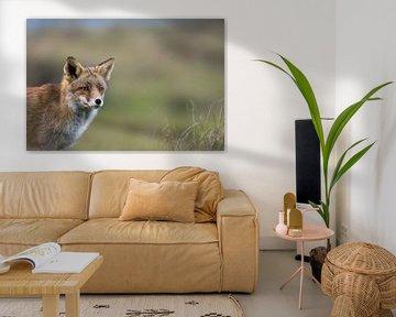 Fuchs ( Vulpes vulpes ) im Winterfell, Anschnitt, Portrait von wunderbare Erde