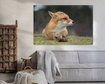 Fuchs ( Vulpes vulpes ) im Regen, aufmerksam zurückgelegte Ohren von wunderbare Erde