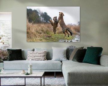 Rotfüchse ( Vulpes vulpes ) streiten miteinander, stehen auf den Hinterpfoten von wunderbare Erde