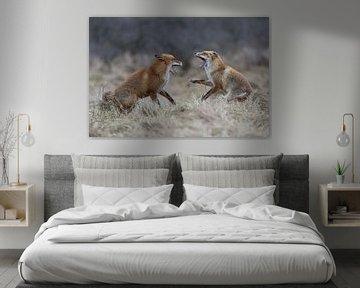 Rotfüchse ( Vulpes vulpes ) im Streit, zähnefletschend von wunderbare Erde