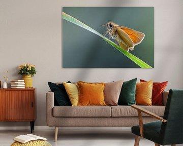 Schwarzkolbiger Braun-Dickkopffalter ( Thymelicus lineola ) von wunderbare Erde
