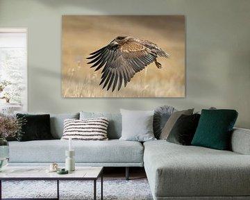 Seeadler ( Haliaeetus albicilla ) im Flug über goldgelbes Ried von wunderbare Erde