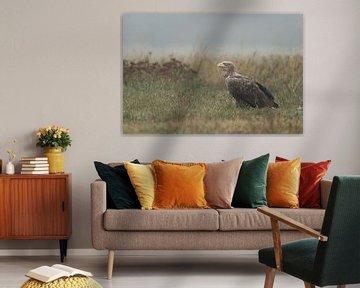 Seeadler ( Haliaeetus albicilla ), stattlicher Altvogel sitzt auf einer naturbelassenen Wiese von wunderbare Erde