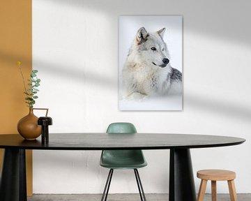 Gray Wolf (Canis lupus) in winter, amber golden eyes. van wunderbare Erde