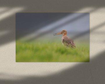 Black-tailed Godwit ( Limosa limosa), calling van wunderbare Erde