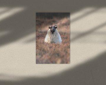 Schaap op de uitkijk van Karin van Rooijen Fotografie