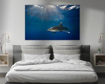 Carcharhinus longimanus