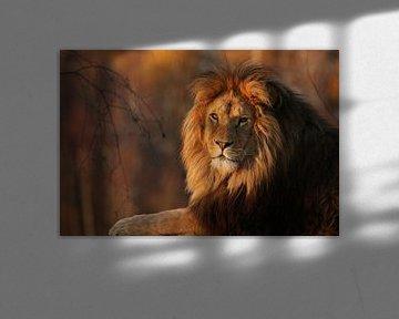 Lion in the evening sun. von Tazi Brown