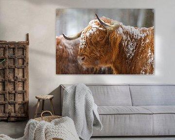 Porträt der schottischen Hochlandviehkuh im Schnee von Sjoerd van der Wal