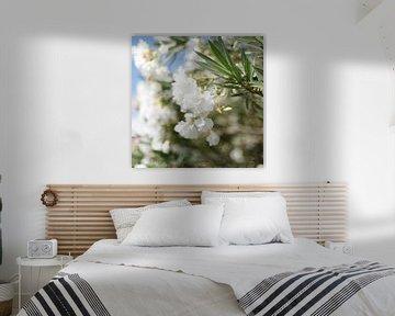 Witte Oleanders