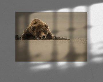 Grizzlybär von AGAMI Photo Agency