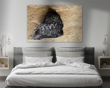 Uhus ( Bubo bubo ) in ihrer Nisthöhle, Altogel mit Jungvogel im Hintergrund von wunderbare Erde
