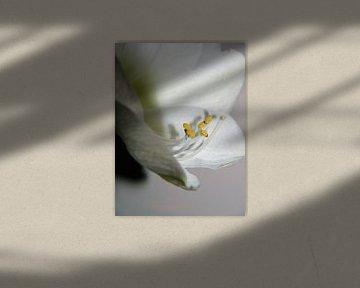 Amaryllis, Stampfer von Evelien Brouwer