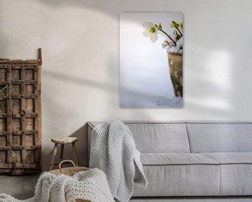 Helleborus im Schnee von Mayra Pama-Luiten