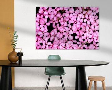 Roze bloemen van de stengelloze silene in Zwitserland von Dennis van de Water